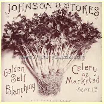 Golden celery